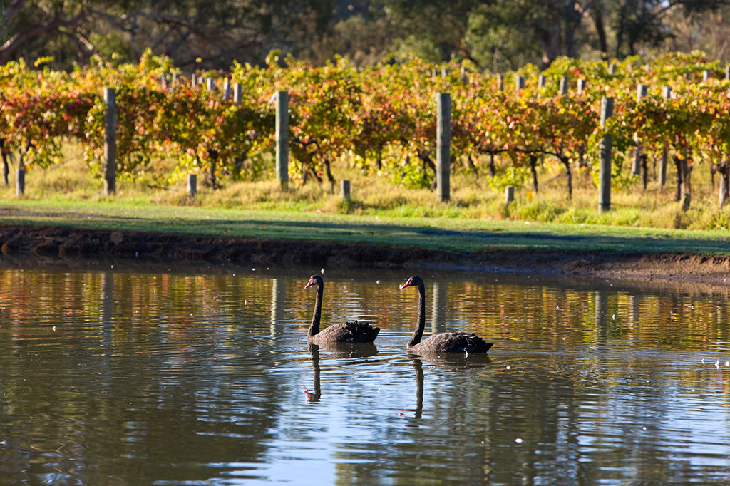 Two black swans in a dam next to a vineyard