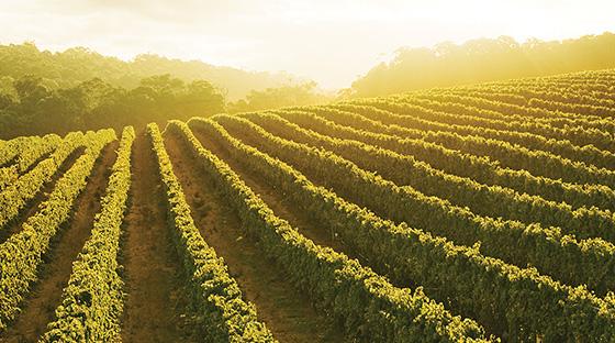 vineyard of white grapes