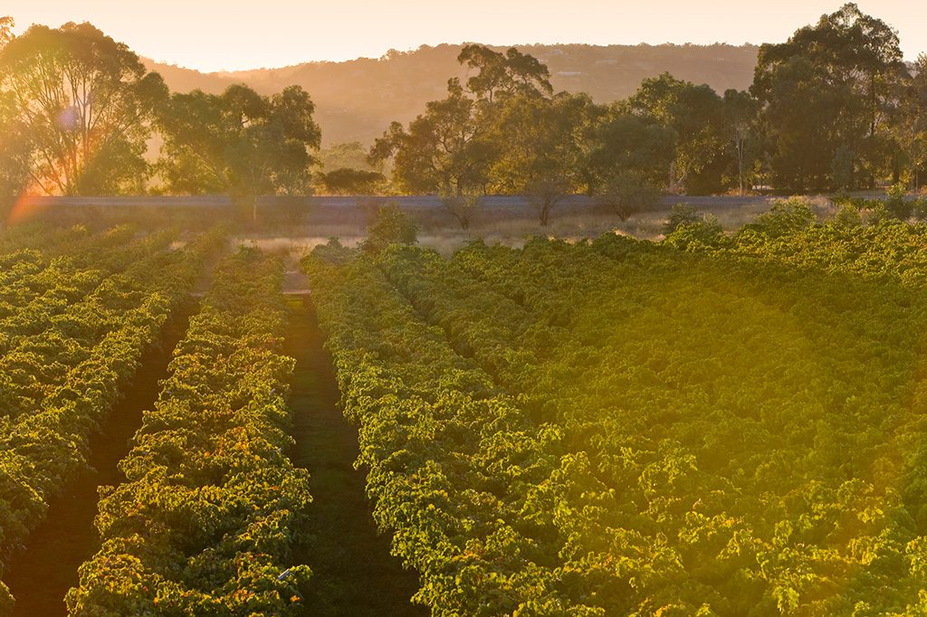 Vineyard overlooking a hill at golden hour